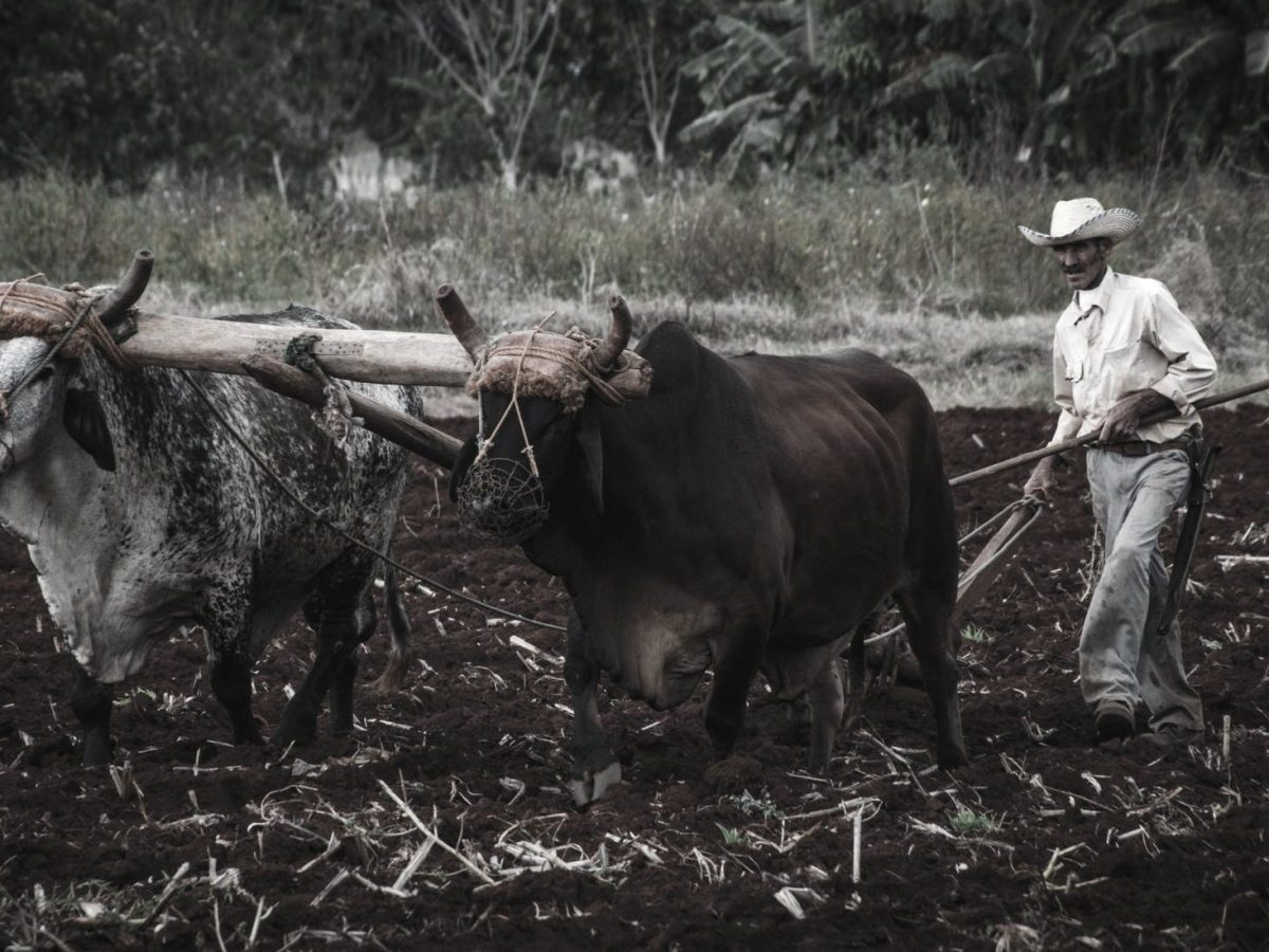 ethnic farmer with bulls plowing land in countryside
