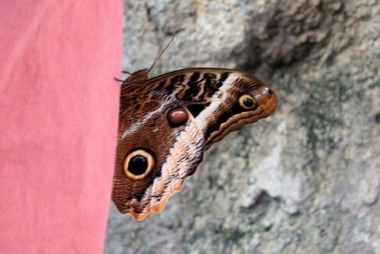 In the butterfly exhibit, this blue morpho really liked Papa.