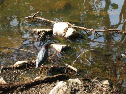 a heron,