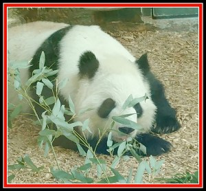 tRR panda laying down