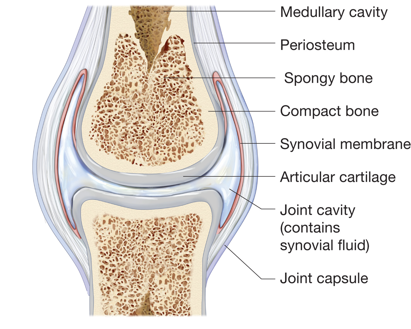 movements allowed by synovial joints diagram chinese quad wiring happy therapydia portland