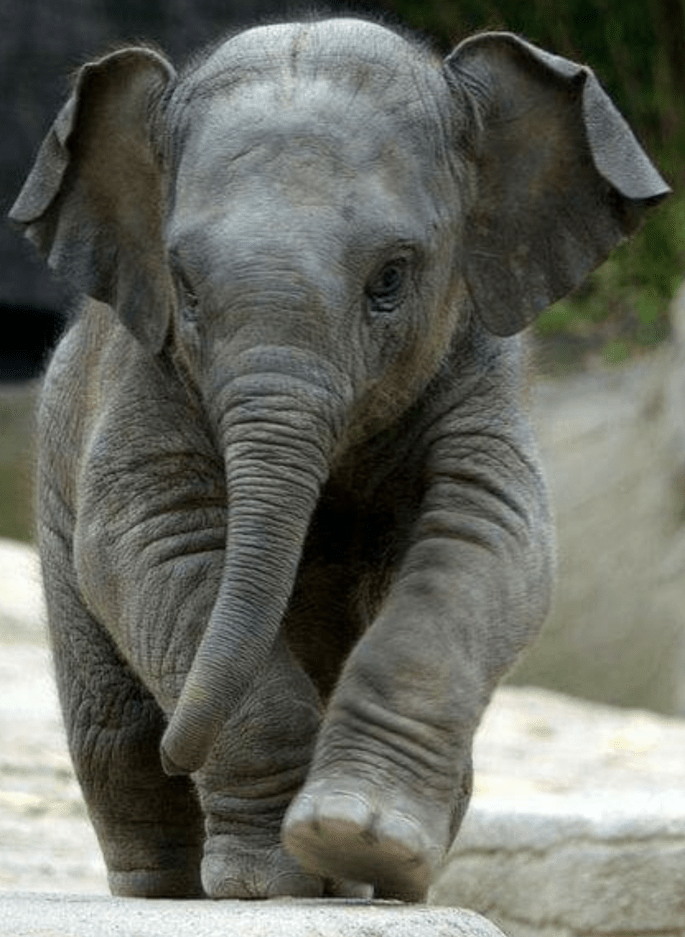 Baby Elephant (2).png