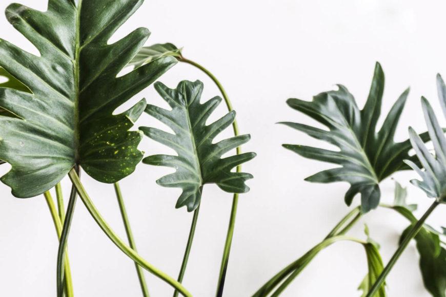 Philodendron-Xandu-on-sitsitso.com_ copy