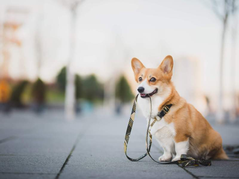 Dog holding leash for a walk