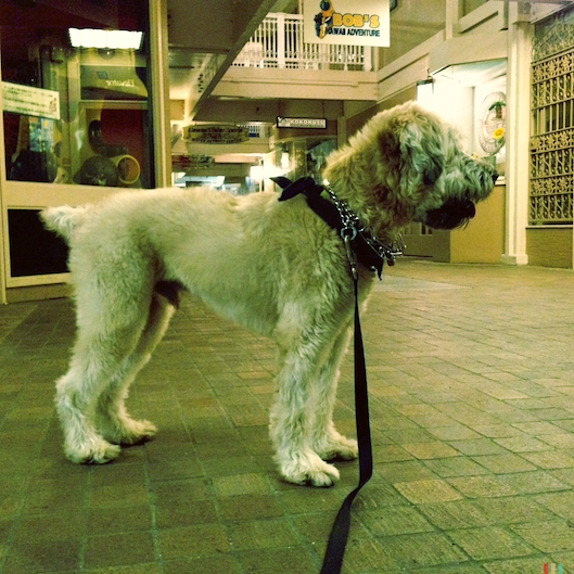 Hawaii Living, InstagramHI, Wheaten Terrier