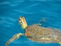 Green turtle, US Virgin Islands 2012