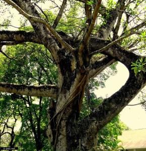 Pyinkado tree
