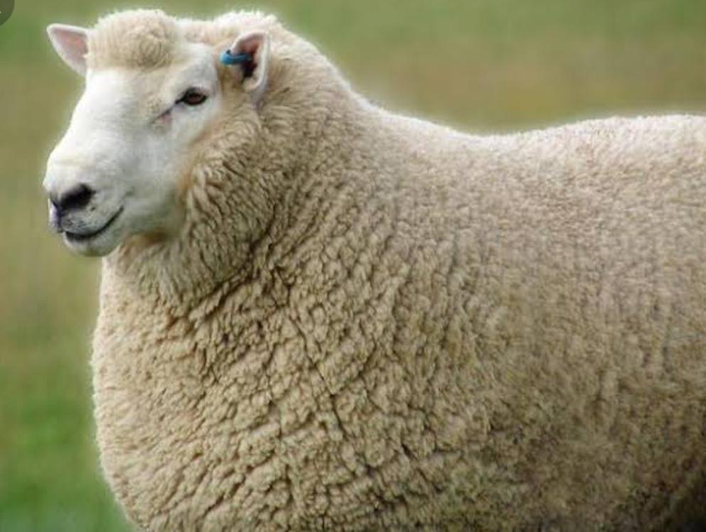 FMD outbreak: Sheep Husbandry dept. asks sheep farmers no need to panic
