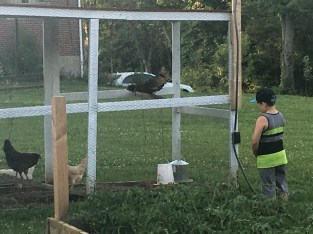 Connor checking out the chickens