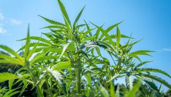 Industrial Hemp (Cannabis sativa)