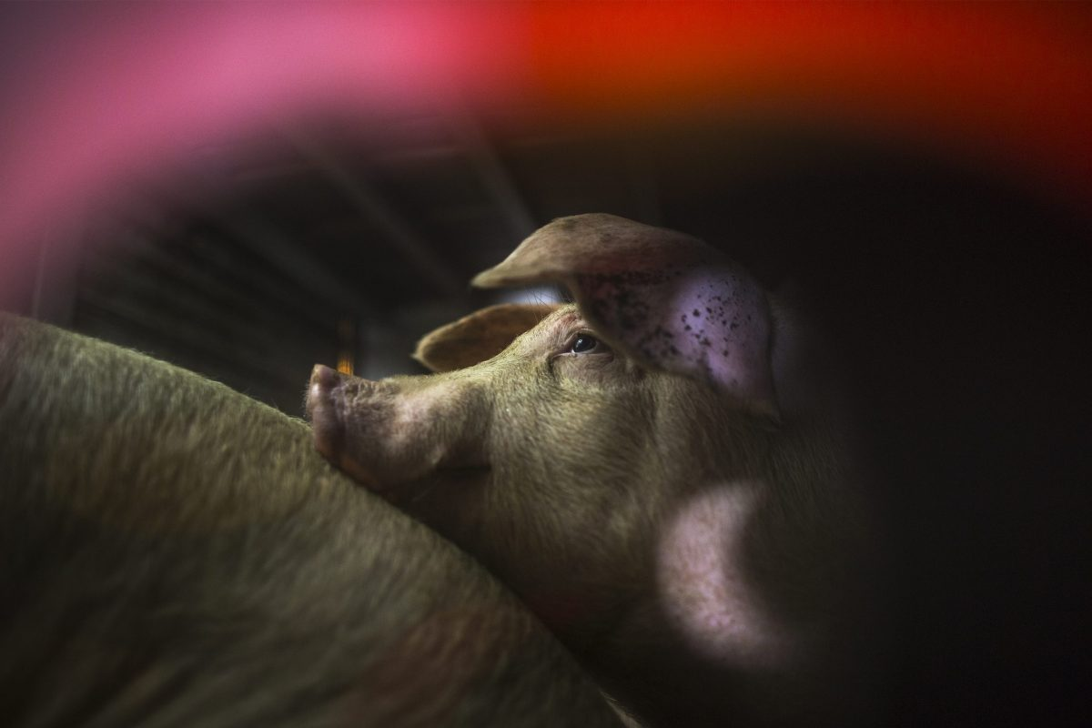Pigs that are being given water by animal rights activists are seen inside trucks