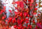Barberry - TheRecipe.Website