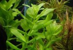 Rice Paddy Herb - TheRecipe.Website
