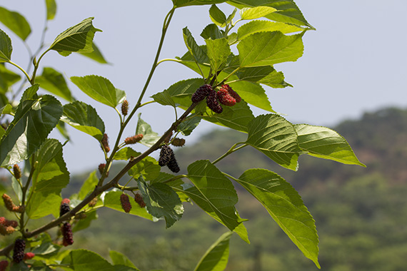 mulberries in all stages