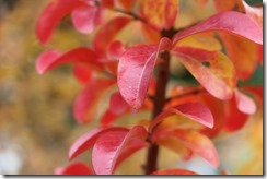 crepemyrtle_myrenvironment