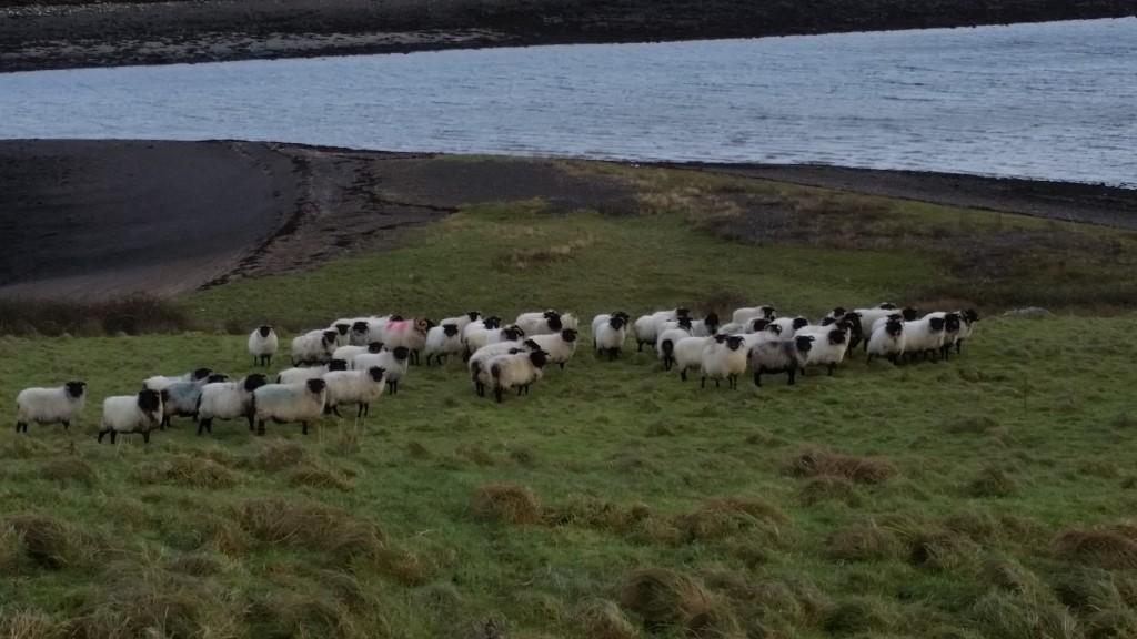Sheep gathered on Collan Beg