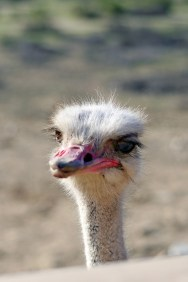 Bemused Ostrich