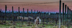 Sheep in vineyard at sunset