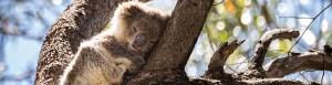 Baby koala sleeping in a tree.