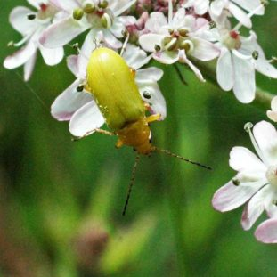 150712TG-Bryn Euryn-Adder's Field (19)-Sulphur beetle cloe-up