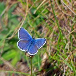 Silver-studded Blue (male) upperside