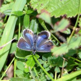 Silver-studded Blue (female) upperside