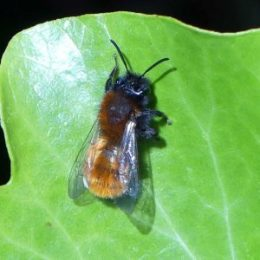 Tawny Mining Bee female