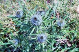 170527-TGLOFW-Spear thistle flower buds