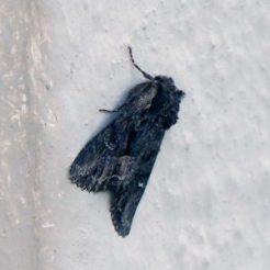 Dark Moth-Miniotype occidentalis