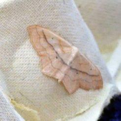 170320-GIB-0813-moth-Wave sp