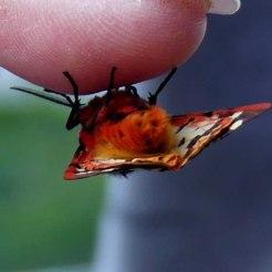 Tiger Moth underside