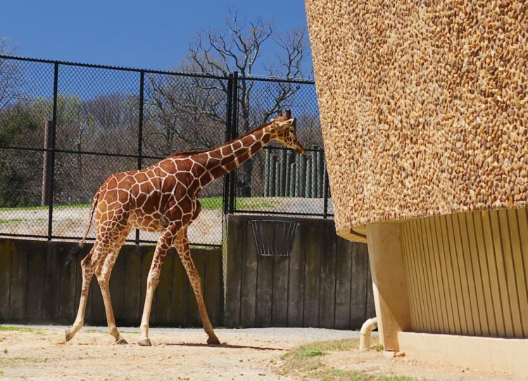 At the giraffe exhibit, you can get close to the animals.