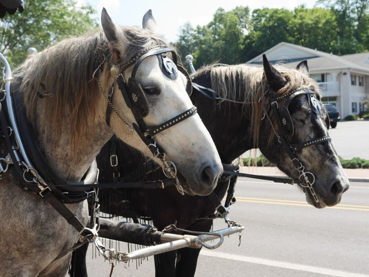The horses that ride with the Victorian Carriage Company are given extra attention in hot weather.