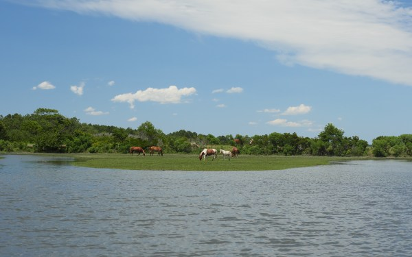 Wild ponies at Chincoteague Island