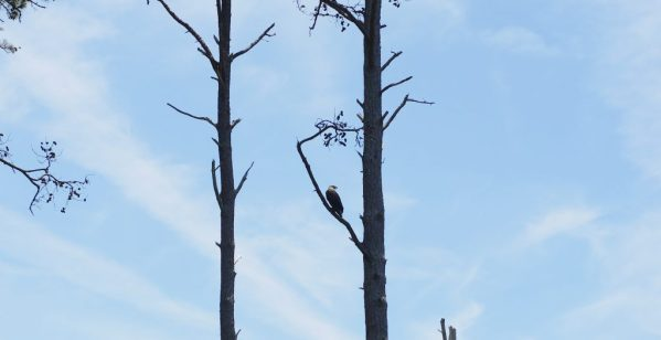 Bald Eagle at Chincoteague Island