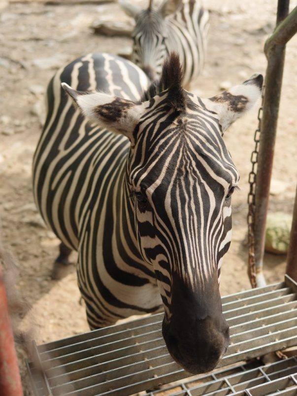 On the safari at the Catoctin Zoo, you can see zebras!