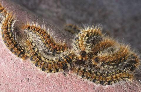 Pine processionary caterpillars