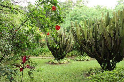 Garden Cacti