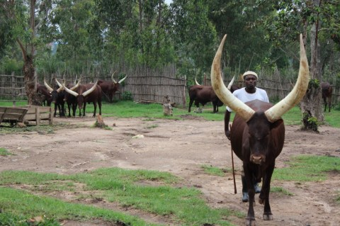Rwandan Royal Cows