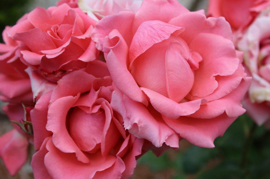 Roses at Hotel Viura