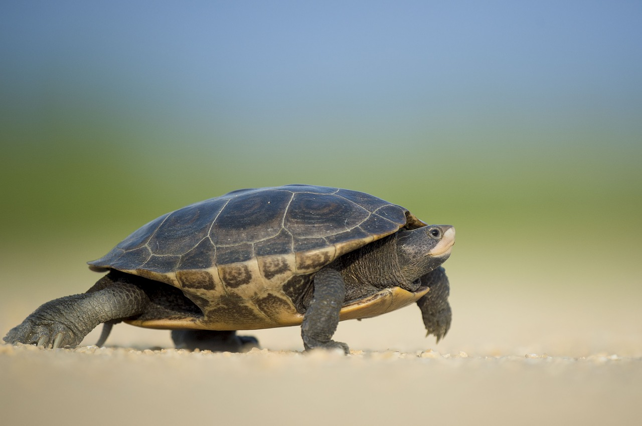 turtle moving slowly