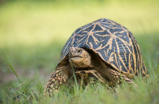 Indian start tortoise