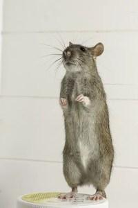 best mouse bait