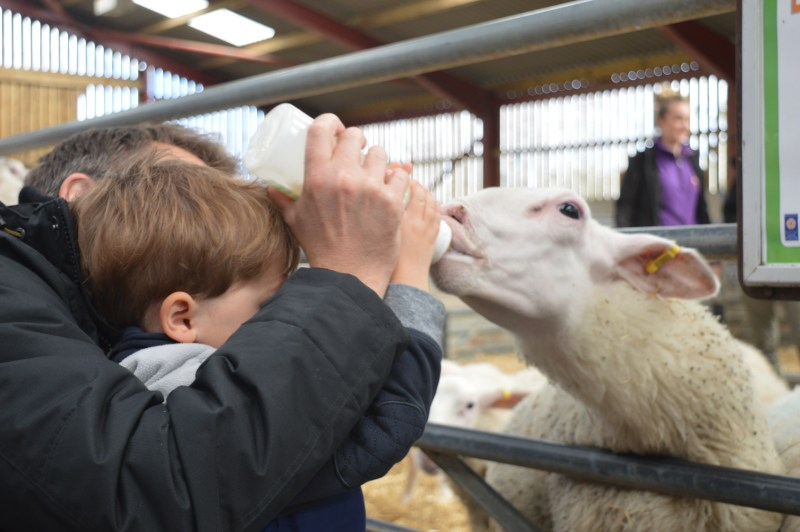 Bottle-feeding the lambs