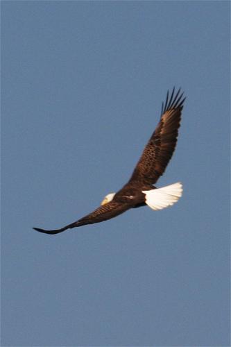 flying-eagle1