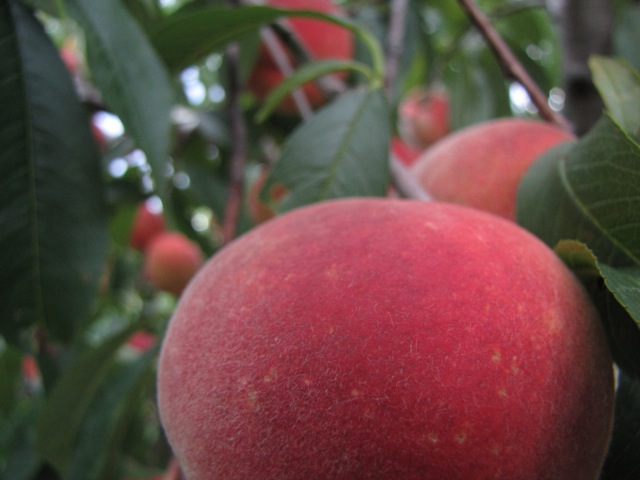Pick-your-own peaches at Sweet Berry Farm