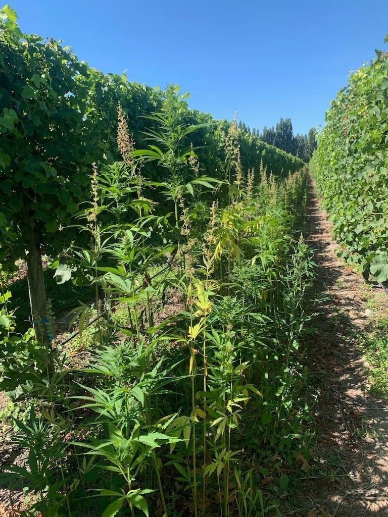 Hemp Terpenes for Improved Terroir