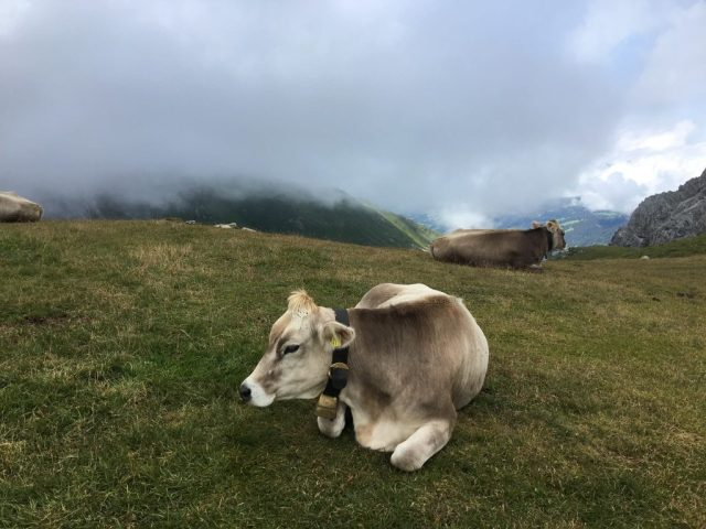 cowscenery