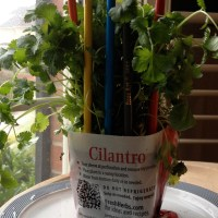 Fresh Cilantro for $2.50 at Food Lion.