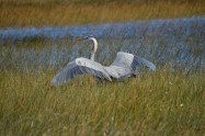 great-blue-heron-lands-in-everglades-grasses